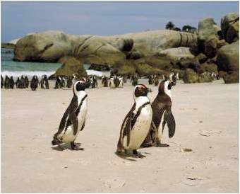 Simonstown Penguins